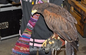 A hawk resting quietly on Marlie&#039;s gloved hand
