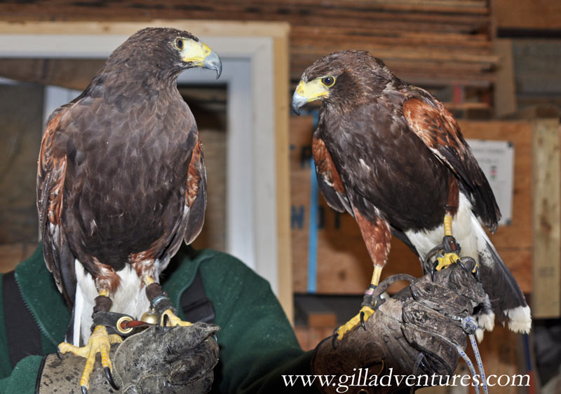 Harris hawks named Twiggy and Sid, from the falconry demonstration and education company Walking With Hawks