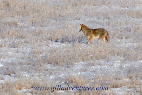 A coyote hunting in a frost covered field