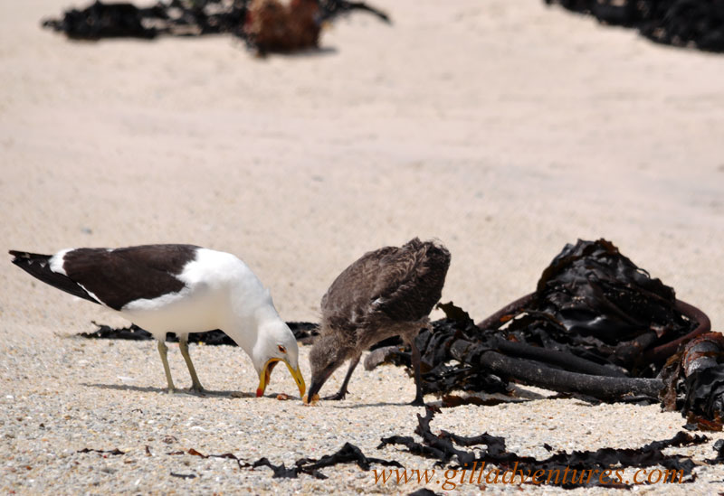 A mother gull hacking up lunch for her baby on Boulders Beach, South Africa. Photo taken on our family trip around the world.