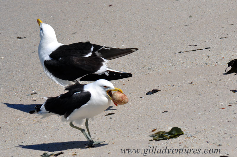 Life and death drama; seagulls with a stolen egg at Boulders Beach, during our trip around the world.