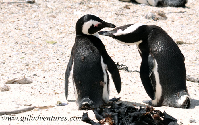 Boulders Beach penguins showing affection. Photo taken during our RTW trip.