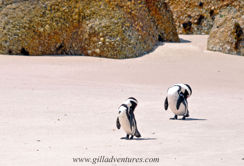 Penguins grooming themselves on Boulders Beach, Simon&#039;s Town, South Africa. Photo taken on our trip around the world and posted in our travelogue.