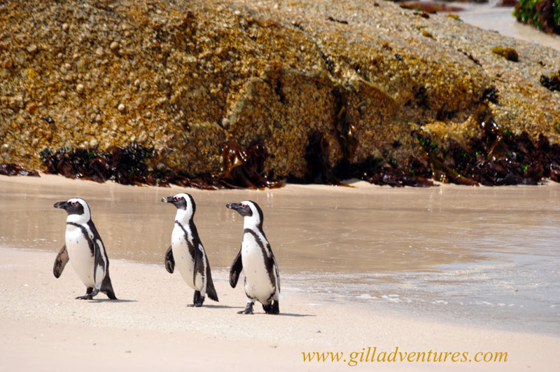 Penguins arriving back from the sea at Boulders Beach, Simon&#039;s Town, South Africa. This place was the top choice for our younger daughter during our family trip around the world.
