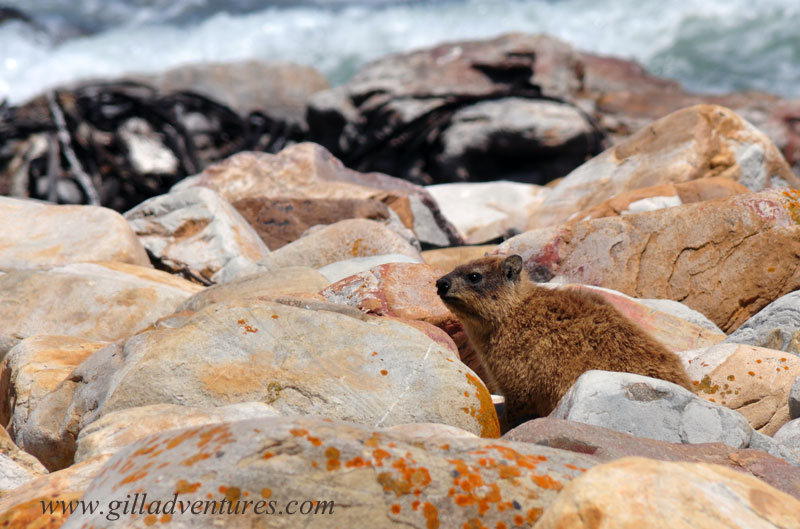 This little guy is a Dassie, or Rock Hyrax. He was in the rocks when we stopped at the Cape of Good Hope on our trip around the world, until some kids chased him. (not our kids...)