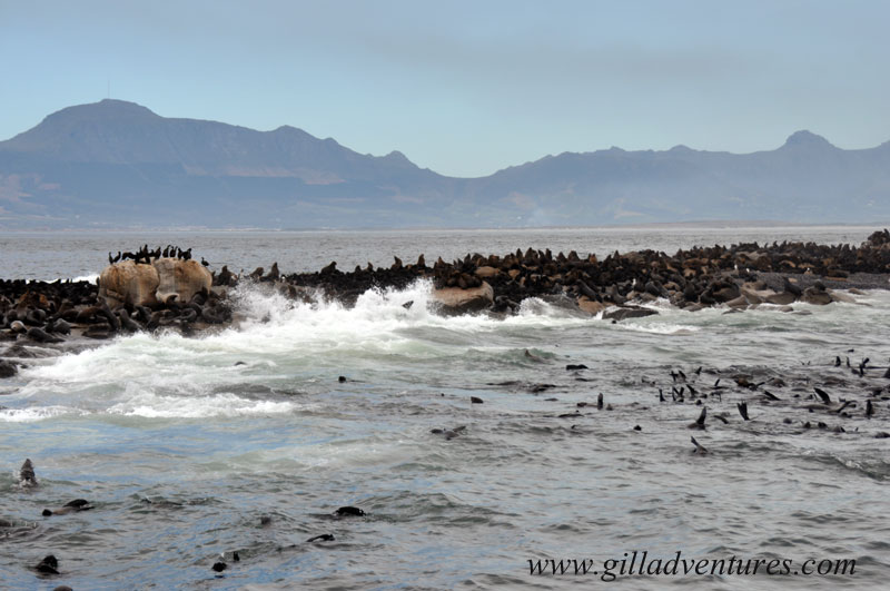 Seal Island,, covered in and surrounded by seals, in False Bay, south Africa, near Cape Town. Photo take on our family trip around the world.