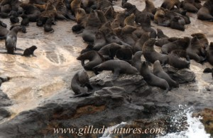 Seals on Seal Island.