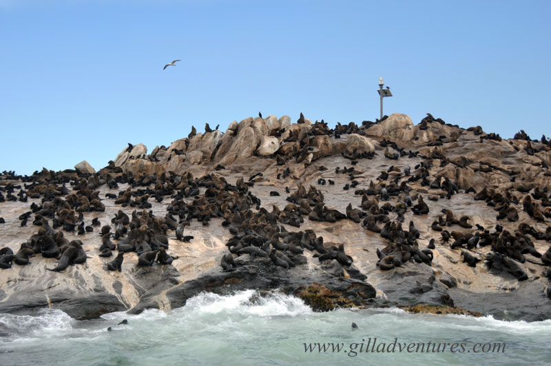 Seal-Island, False Bay, Simons Town, South Africa