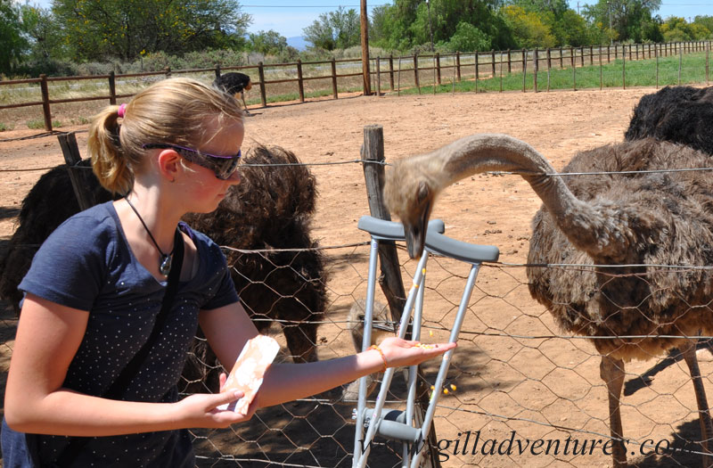 feeding the ostriches in south africa during our trip around the world