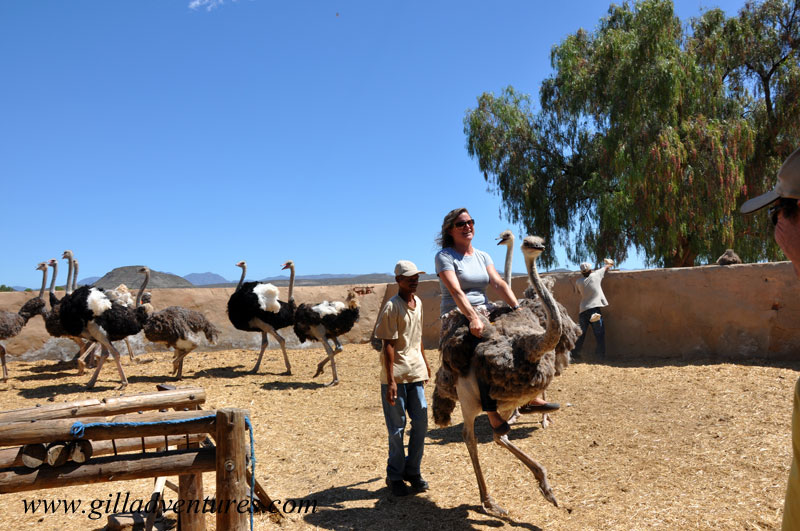 Riding an ostrich in South Africa during our trip around the world, and posted in our travelogue.