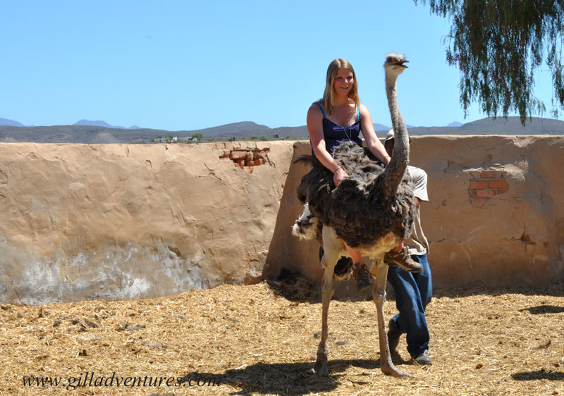 hannah riding an ostrich in south africa, during our family round the world adventure
