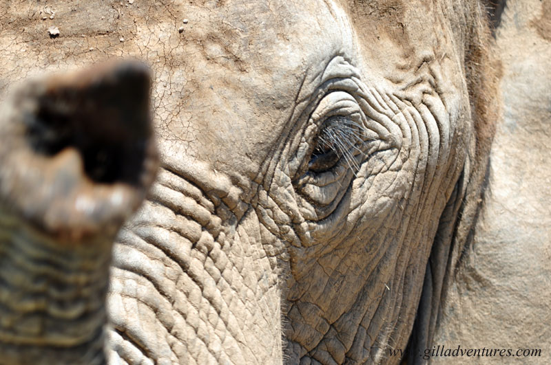An elephant in Addo National Park reaching toward the camera.