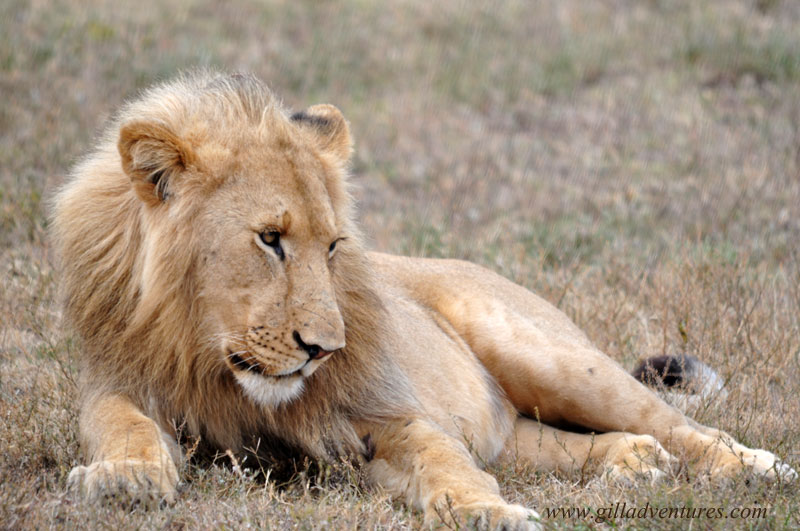 The hungry juvenile male lion, watching a short distance away. Later, when the older male was not looking, he snuck in to feed.