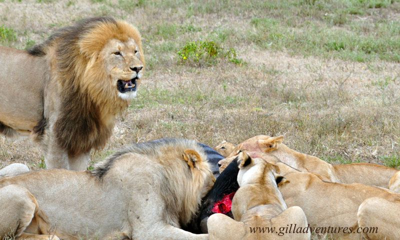 lions eating a wildebeest at schotia safari park in south africa.