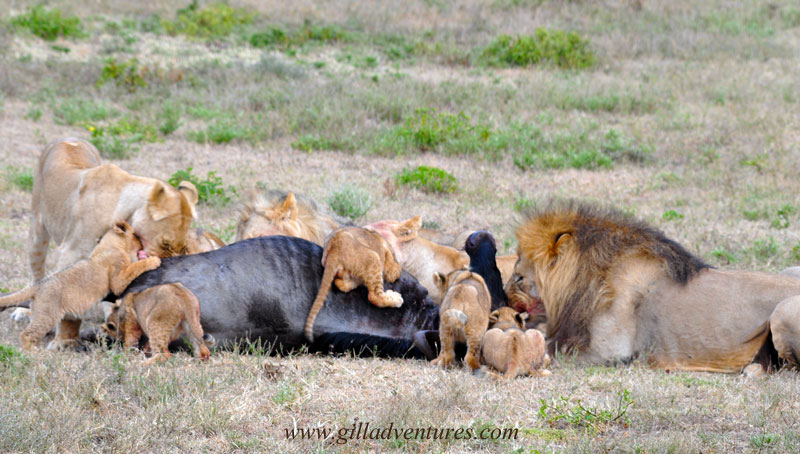 Family feast, a pride of lions eating.
