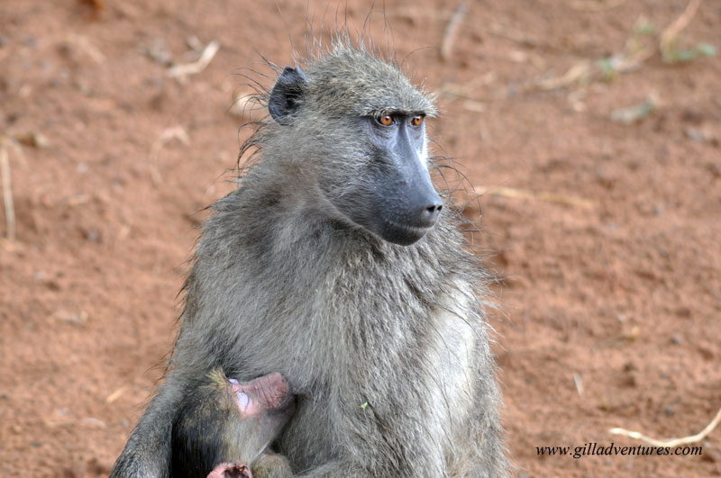 Baboon mother nursing her baby in Chobe National Park, Botswana.