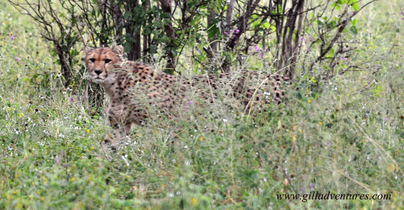 Cheetah in Chobe National Park, Botswana