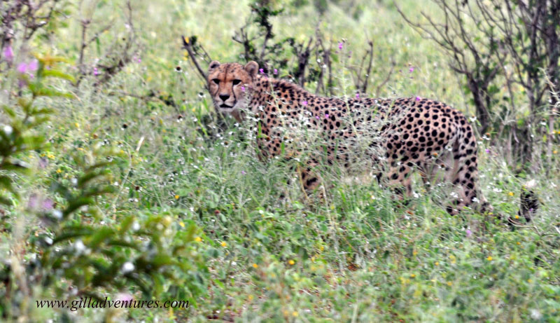 Chobe Cheetah, Botswana 