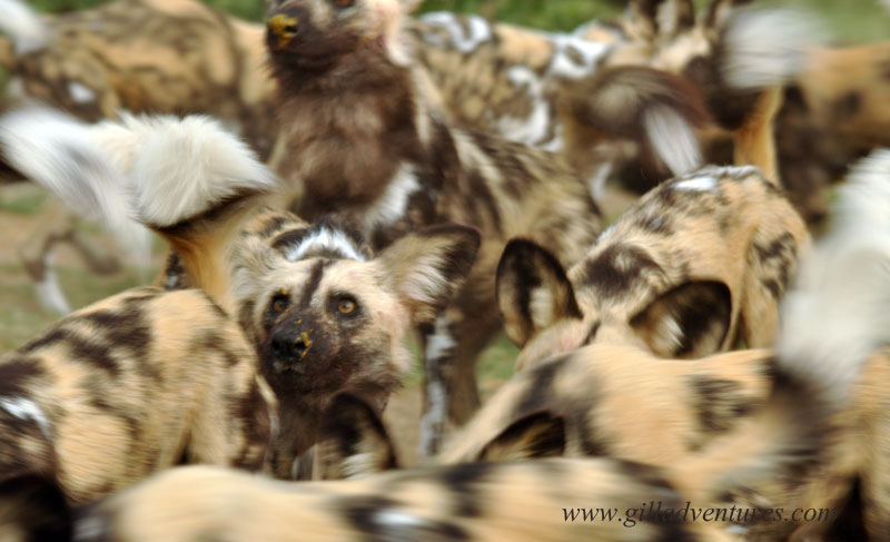 Wild African Dogs waiting to be fed at the Kalahari Predator Conservation Project facilities, near the Central Kalahari Game Reserve, Botswana.