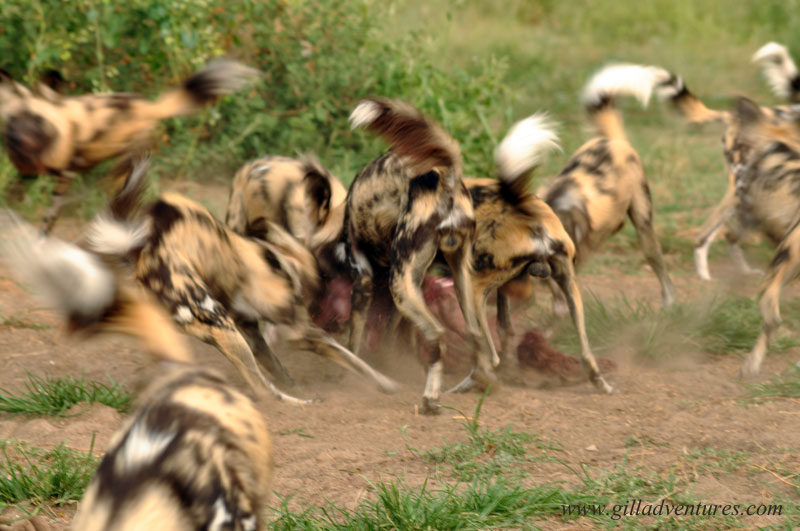 Wild African Dogs at the Central Kalahari Predator Conservation facilities.