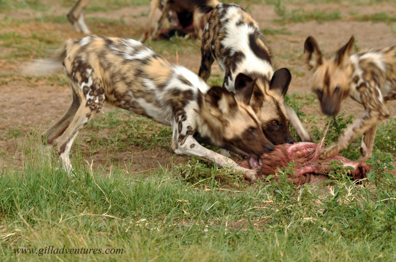 Wild African dogs eating at the Central Kalahari Predator Conservation Project facilities.
