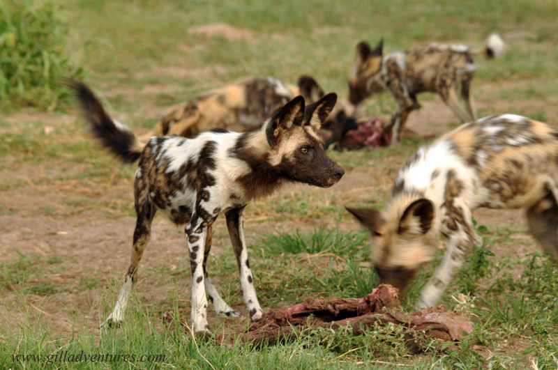 African wild dogs easting in the Central Kalahari of Botswana.