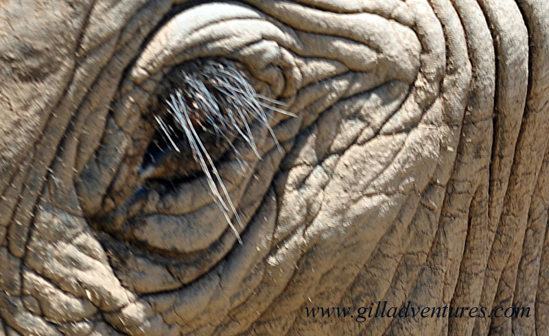 eye of an African elephant