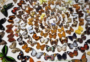 butterfly display at the Australia museum, Sydney. Photo taken during our round the world trip with our family and posted to our travelogue.